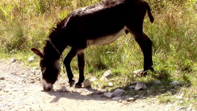 muli kurios sniffing rocks auf der seite der straße in der nähe von einem der pasture - verbogen stock-videos und b-roll-filmmaterial