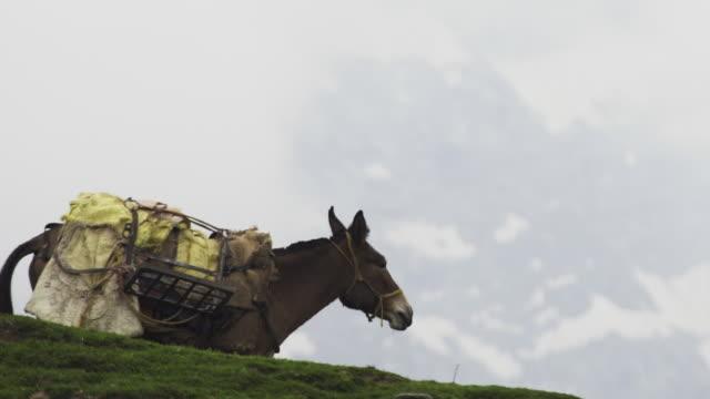 maultier beweidung in bergen - himachal pradesh stock-videos und b-roll-filmmaterial