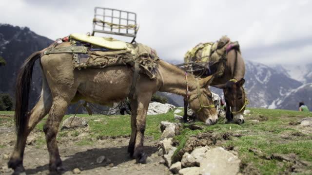 maultiere weiden in bergen - himachal pradesh stock-videos und b-roll-filmmaterial