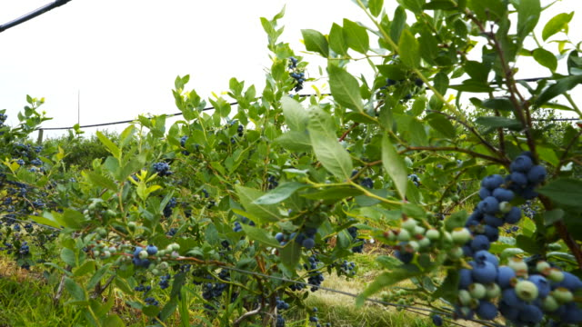 multi axis gimbal shot walking past blueberry bushes in fruit - bacca video stock e b–roll