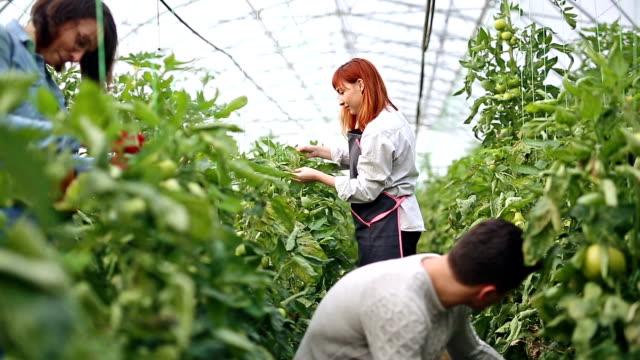 vídeos y material grabado en eventos de stock de grupo étnico multi de jardineros en invernadero - alimentos orgánicos
