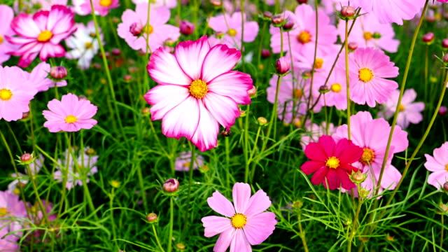 multi-color daisy or Cosmos bipinnata Cav