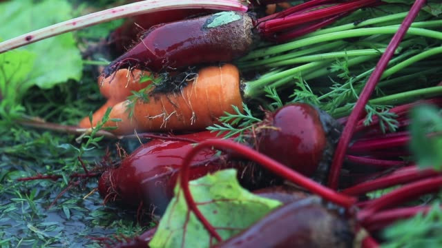 Multicolor fresh vegetables carrots and beets during a heavy shower rain with a breeze. Shallow depth of the field, toned video, 50fps. video