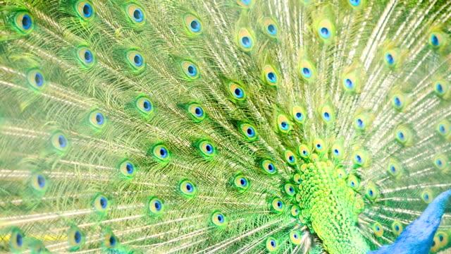 многоцветный хвост павлина - peacock стоковые видео и кадры b-roll