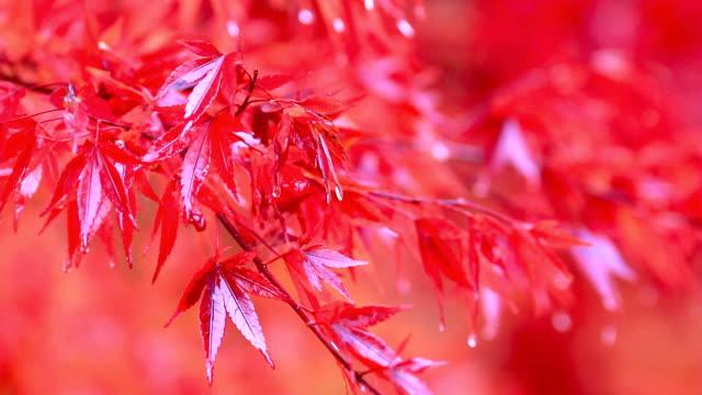 Multi-colored autumn leaves in the rain. video