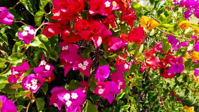 Multicolored bougainvilleas video