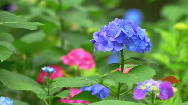 multi-farbigen hortensien blumen in nahaufnahme - hortensie stock-videos und b-roll-filmmaterial
