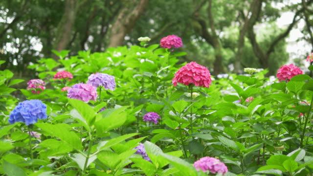stockvideo's en b-roll-footage met multi-gekleurde hortensia's bloemen in regen - hortensia