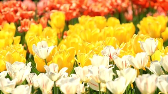 色とりどりのチューリップが咲く - キューケンホフ公園点の映像素材/bロール