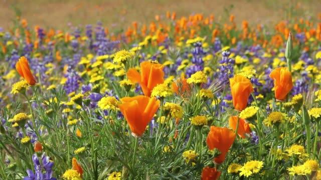 flerfärgade blommor på en äng i california. - vild blomma bildbanksvideor och videomaterial från bakom kulisserna