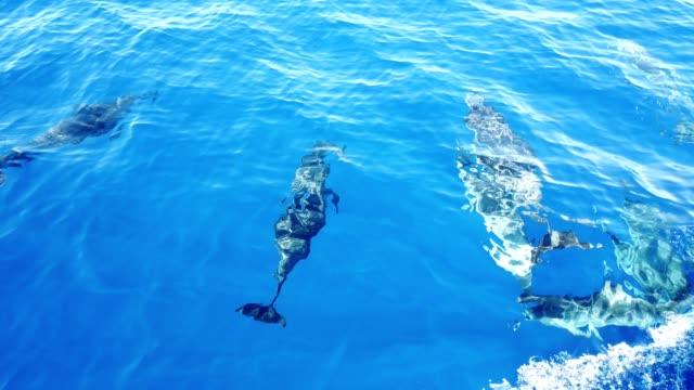 vídeos de stock e filmes b-roll de multiple atlantic spotted dolphins (stenella frontalis) in water - ilha da madeira