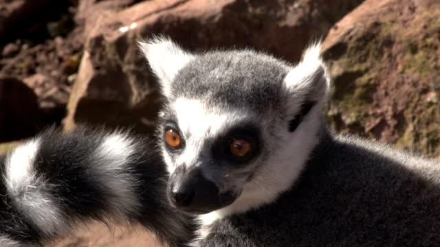 flera klipp av lemurer sola - lemur bildbanksvideor och videomaterial från bakom kulisserna