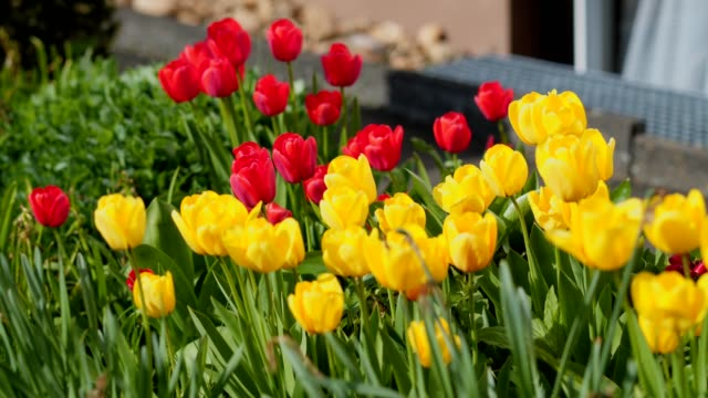 Multiple Colored Tulips in a Garden Blowing in the Wind video