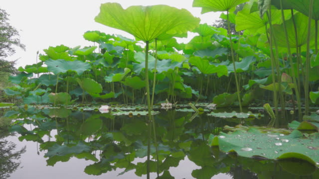 Multiple lotus leaf and raindrops in low angle view video