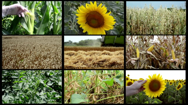 Multiple screens agricultural video collage with corn, sunflower, oat, soybean, wheat
