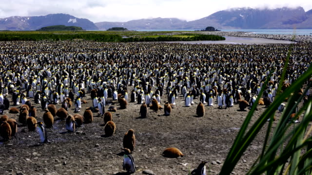 A multitude of King penguin stands in a colony on South Georgia Island A multitude of King penguin stands in a colony on South Georgia Island south georgia and the south sandwich islands stock videos & royalty-free footage