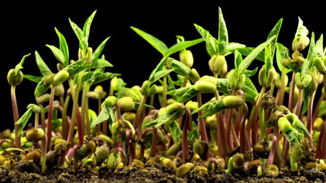 mungbönor grobarhet på svart bakgrund - pea sprouts bildbanksvideor och videomaterial från bakom kulisserna
