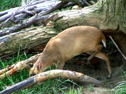 Muntjac Deer Grazing (HD_link_below) video