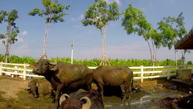 vídeos de stock e filmes b-roll de murrah buffalo - ordenhar