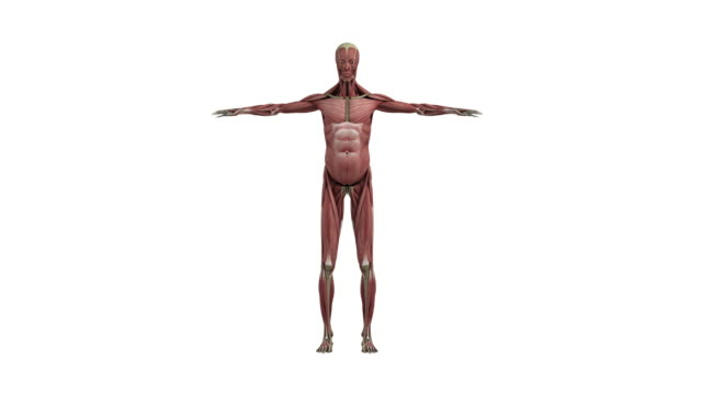 筋肉、骨格 - 人の筋肉点の映像素材/bロール