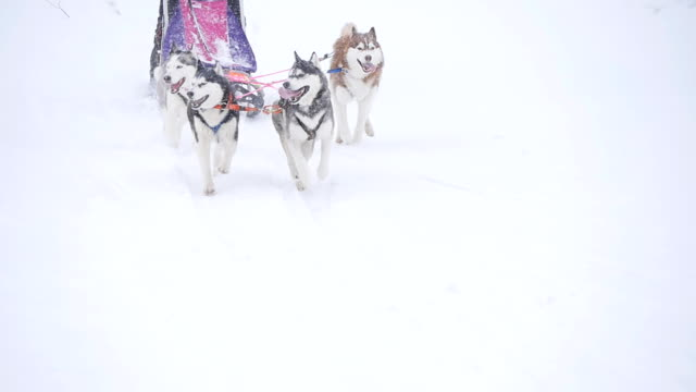 musher nascondersi dietro slitta di corsa con i cani da slitta a al rallentatore - malamute video stock e b–roll