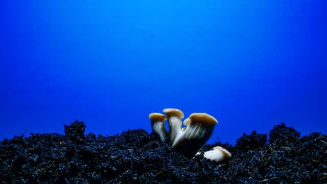 vidéos et rushes de champignon croissant laps de temps fond écran bleu - tige d'une plante