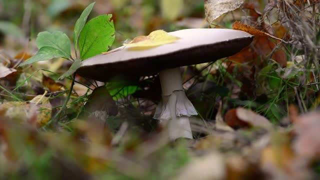 Mushroom is growing in the autumn forest. Fall harvest season. Mushroom picking concept