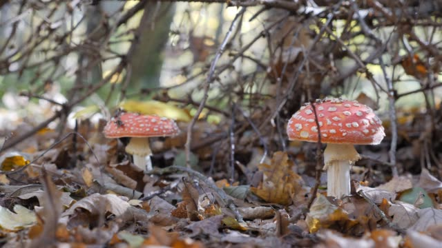 mushroom mushroom in the forest. incredible mushroom glade in the autumn season. yellow leaf. camera in motion. - svasso video stock e b–roll