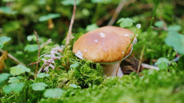 svamp plockare klipper en vit svamp i skogen - höst plocka svamp bildbanksvideor och videomaterial från bakom kulisserna