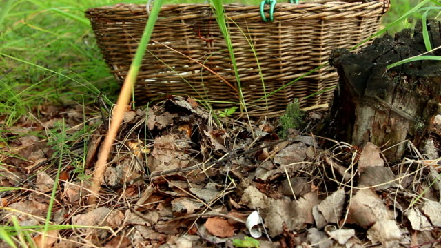 Mushroomer digs up and cuts the mushroom Lactarius resimus in forest video