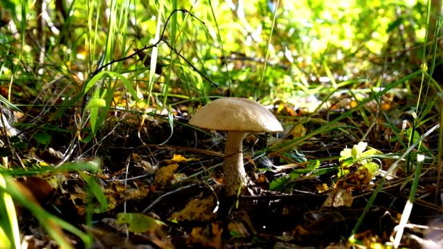 vídeos de stock e filmes b-roll de mushroom-kicking - swiss army knife