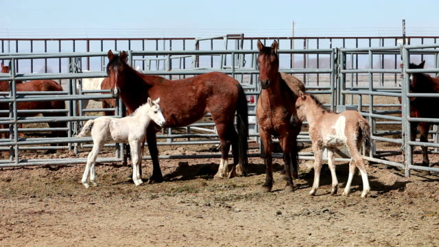 Mustang horses mare colt foal Mustang horses in corral, Mares and Colts after roundup in Utah and Arizona deserts. Trapped and transported by Federal and State Government to control numbers and protect animal life and forage food in dry desert areas. Bureau of Land Management. Controversial on humane conditions and methods. Mud on hair. mustang wild horse stock videos & royalty-free footage