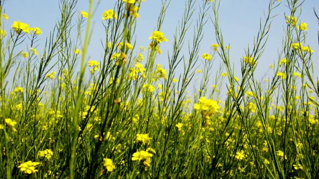 Mosterd gewas veld tijdens de lente video