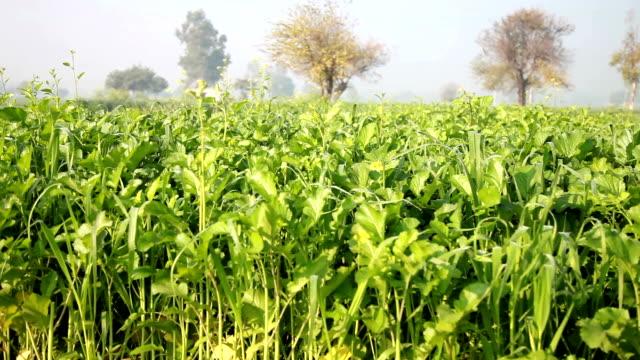 Mustard crop field panning video