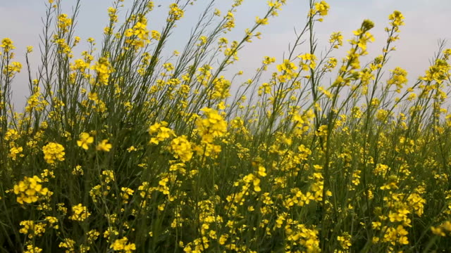 Mustard crop video
