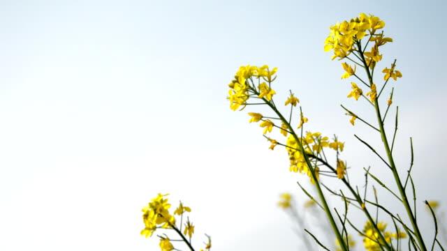 Mustard Field in Winter Season video