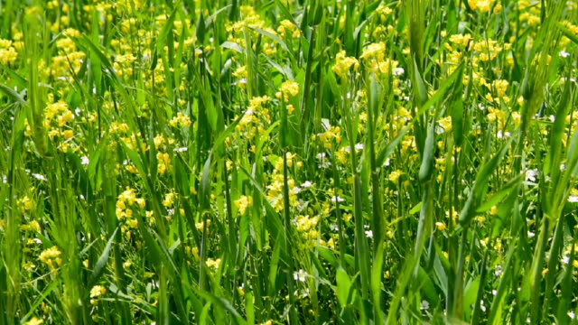 Mustard flower field in north India,Jummu and Kasmier