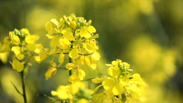 mustard flowers. mustard – mystical flower of happiness and health. - colza video stock e b–roll