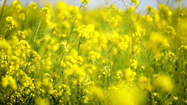 Mustard flowers. Mustard – mystical flower of happiness and health. video
