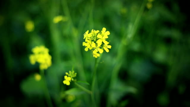 Mustard Plant video