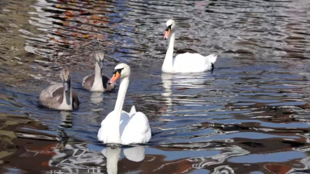 Mute swan family two cygnets on Mitcham Pond Surrey video