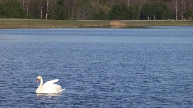 höckerschwan schwimmende - schwan stock-videos und b-roll-filmmaterial