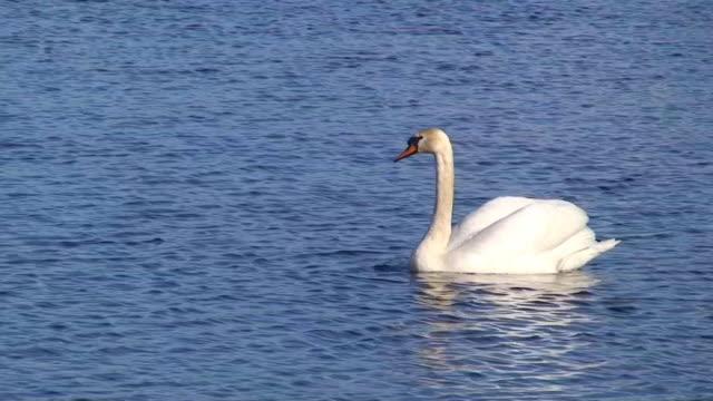 höckerschwan schwimmende video - schwan stock-videos und b-roll-filmmaterial