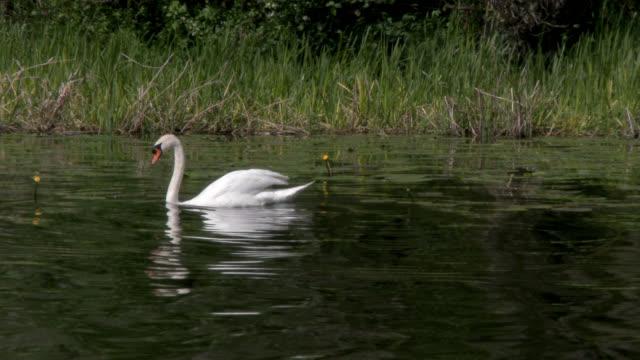 Mute swan swimming on a loch