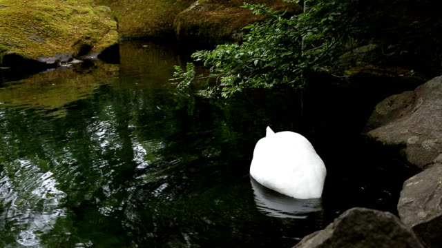 Mute Swan video