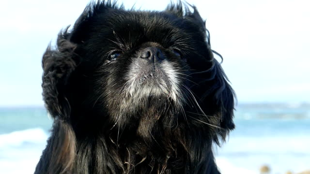Bидео Muzzle of a beautiful dog with long hair in a strong wind (slow motion)