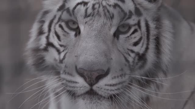 あなたを見て白虎の銃口 ビデオ