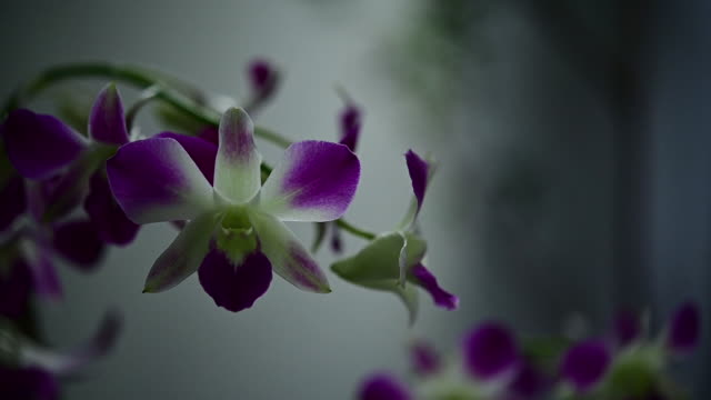 My beautiful blooming purple orchid