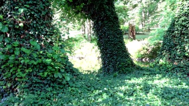 나무 줄기에 아이비 (헤데라) 식물과 신비한 숲. - 아이비 스톡 비디오 및 b-롤 화면