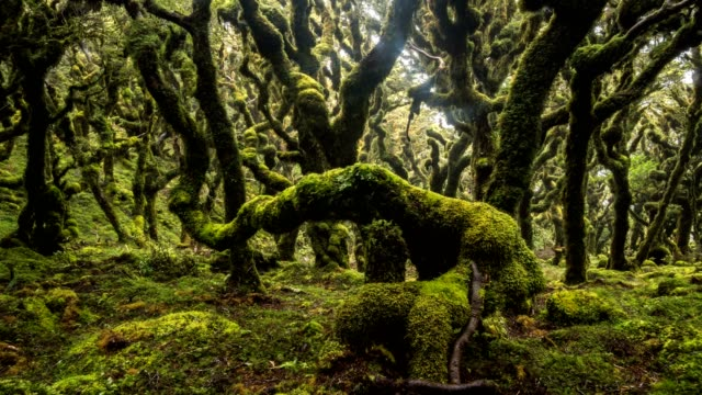Mystic goblin mossy forest trees in green New Zealand wilderness nature Time lapse